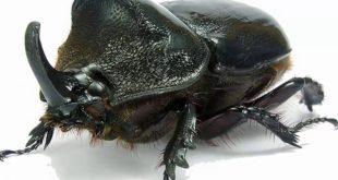 خنفساء وحيد القرن (Rhinoceros Beetle)