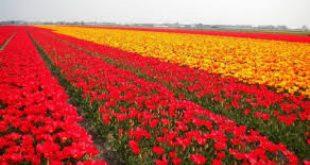 أزهار في غزة