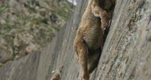الماعز الجبلي: متسلق الجبال الأول