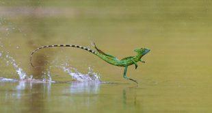 سحالي الملك الصغير (Basiliscus)