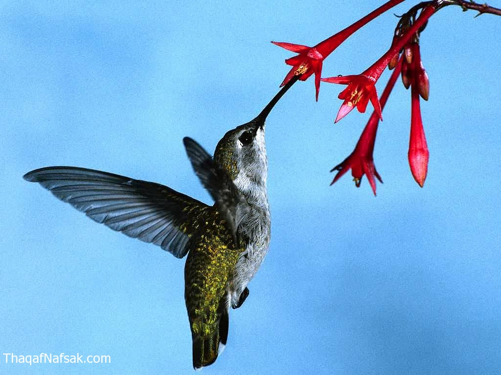 طائر-الطنان