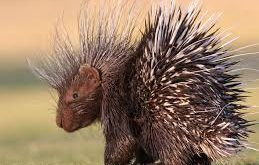النيص الهندي: Indian Crested Porcupine