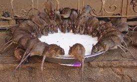 طقوس عبادة  الفئران في الهند