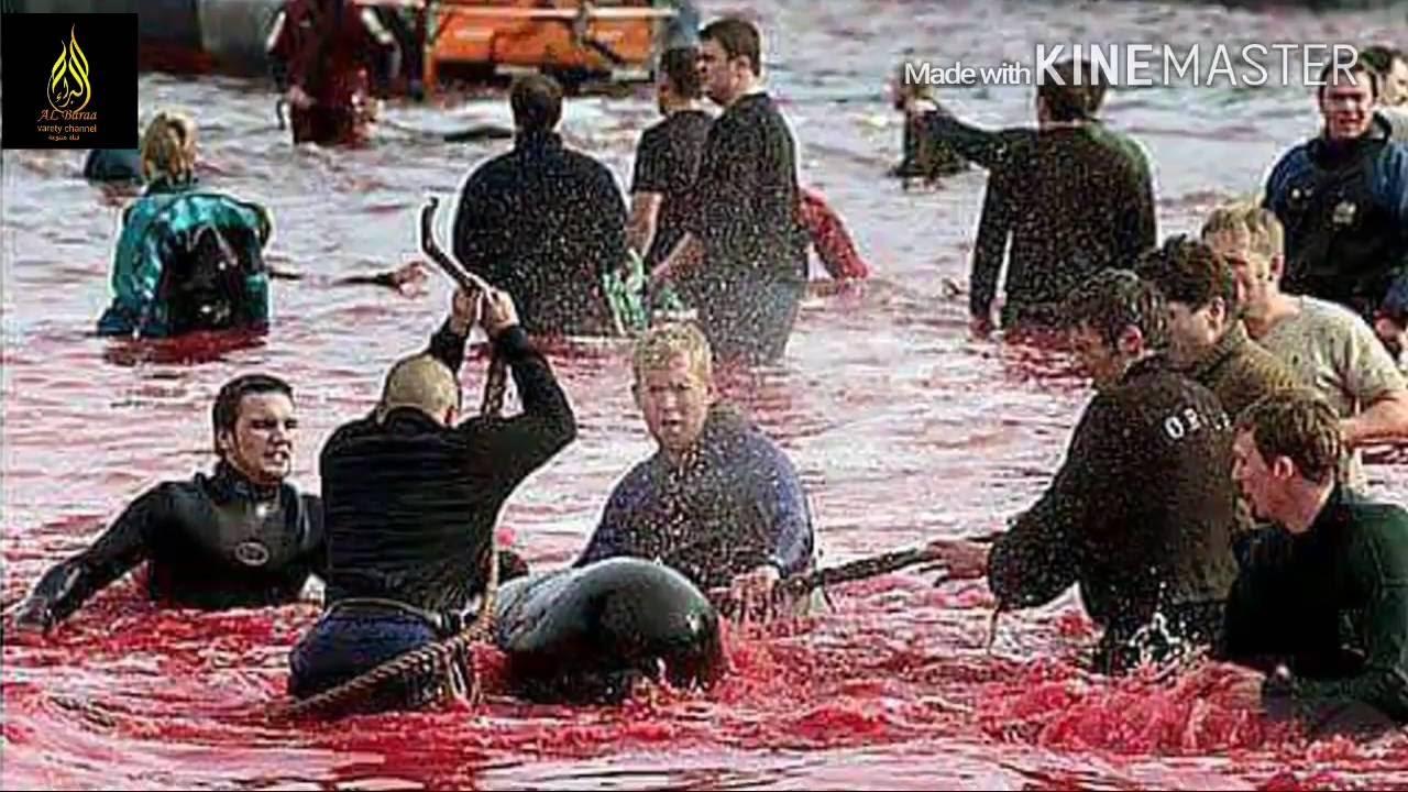 مذبحة الدالفين والحيتان