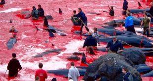 مذبحة الدلافين والحيتان في الدنمارك
