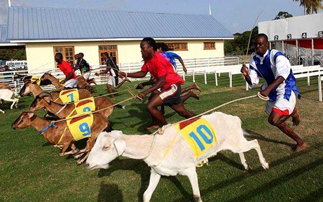 سباق الماعز