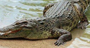 جلد التمساح